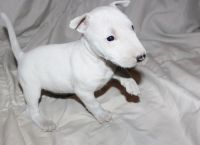 Bull Terrier Puppies for sale in Quechee, Hartford, VT, USA. price: NA