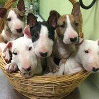 Bull Terrier Puppies for sale in Stamford, CT, USA. price: NA