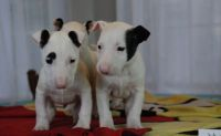 Bull Terrier Puppies for sale in New York, NY, USA. price: NA