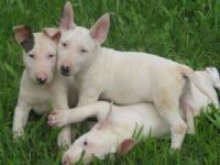 Bull Terrier Puppies for sale in Richmond, VA, USA. price: NA