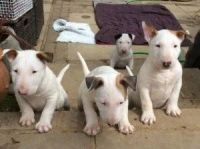 Bull Terrier Puppies for sale in Lexington, KY, USA. price: NA