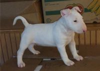 Bull Terrier Puppies for sale in Texarkana, AR 71854, USA. price: NA