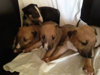 Bull Terrier Puppies for sale in NJ-10, Randolph, NJ, USA. price: NA