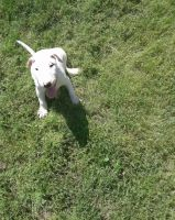 Bull Terrier Puppies for sale in Panama City, FL, USA. price: NA