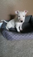 Bull Terrier Puppies for sale in Lincoln, NE, USA. price: NA