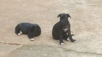 Bull Terrier Puppies for sale in Charlotte, NC, USA. price: NA