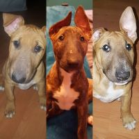 Bull Terrier Puppies for sale in Rapid City, SD, USA. price: NA
