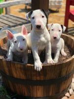 Bull Terrier Puppies for sale in Dallas, TX, USA. price: NA