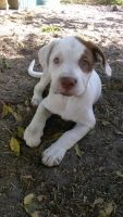 Bull Terrier Puppies for sale in Cocoa, FL, USA. price: NA