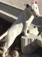 Bull Terrier Puppies for sale in Louisville, KY, USA. price: NA