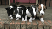 Bull Terrier Puppies for sale in Chatom, AL 36518, USA. price: NA