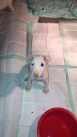 Bull Terrier Puppies for sale in Louisiana, MO 63353, USA. price: NA