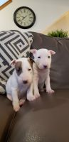 Bull Terrier Puppies for sale in Hermiston, OR 97838, USA. price: NA
