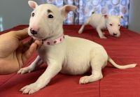 Bull Terrier Puppies for sale in Omaha, NE 68139, USA. price: NA