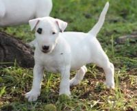 Bull Terrier Puppies for sale in Ashburn, VA, USA. price: NA
