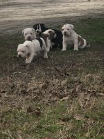 Bull Terrier Puppies for sale in Augusta, GA, USA. price: NA