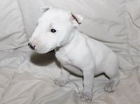 Bull Terrier Puppies for sale in Wilmar, AR 71675, USA. price: NA