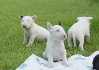 Bull Terrier Puppies for sale in Detroit, MI, USA. price: NA