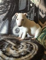 Bull Terrier Puppies for sale in 120 Glenwood St, Jackson, WY 83001, USA. price: NA