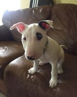 Bull Terrier Puppies for sale in Des Plaines, IL, USA. price: NA