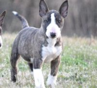 Bull Terrier Puppies for sale in Seattle, WA, USA. price: NA