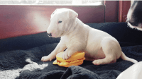 Bull Terrier Puppies for sale in Colorado Springs, CO 80903, USA. price: NA