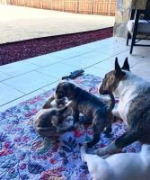 Bull Terrier Puppies for sale in Aztec, NM, USA. price: NA