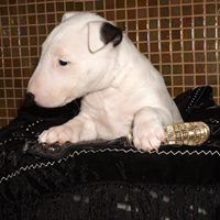 Bull Terrier Puppies for sale in Los Andes St, Lake Forest, CA 92630, USA. price: NA