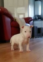 Bull Terrier Puppies for sale in Texas City, TX, USA. price: NA