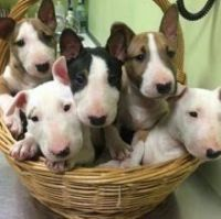Bull Terrier Puppies for sale in Portland, OR, USA. price: NA