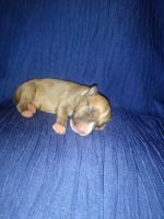 Bull Terrier Puppies for sale in Syracuse, NY, USA. price: NA
