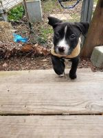 Bull Terrier Puppies for sale in Peoria, IL, USA. price: NA