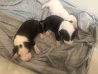 Bull Terrier Puppies for sale in Richmond, TX, USA. price: NA