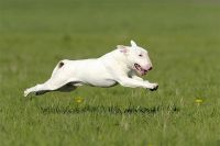 Bull Terrier Puppies for sale in Arlington, TX, USA. price: NA
