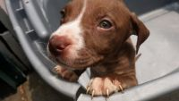 Bull Terrier Puppies for sale in Chautauqua, NY 14757, USA. price: NA