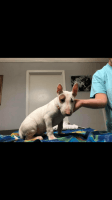 Bull Terrier Puppies for sale in Blountsville, AL 35031, USA. price: NA