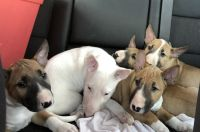 Bull Terrier Puppies for sale in Houston, TX 77065, USA. price: NA