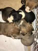 Bull Terrier Puppies for sale in Meridian, MS, USA. price: NA