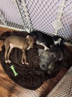 Bull Terrier Puppies for sale in Manhattan, KS, USA. price: NA