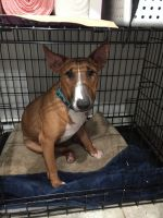 Bull Terrier Puppies for sale in 4751 Whetstone Ct, Charlotte, NC 28226, USA. price: NA