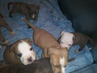 Bull Terrier Puppies for sale in 1220 Grove Ave, Shady Side, MD 20764, USA. price: NA