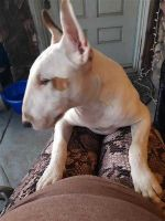 Bull Terrier Puppies for sale in Vista, CA, USA. price: NA