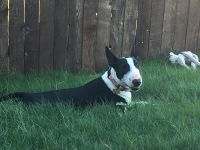 Bull Terrier Puppies for sale in Annetta North, TX 76008, USA. price: NA