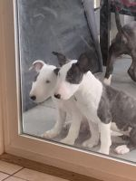 Bull Terrier Puppies for sale in Denver, CO 80012, USA. price: NA