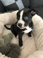 Bull Terrier Puppies for sale in Hemet, CA 92545, USA. price: NA