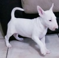 Bull Terrier Puppies for sale in Cleveland, OH, USA. price: NA