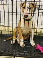 Bull Terrier Puppies for sale in Jersey City, NJ 07304, USA. price: NA