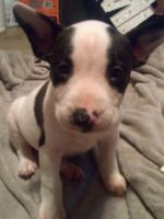 Bull Terrier Puppies for sale in Tacoma, WA 98404, USA. price: NA