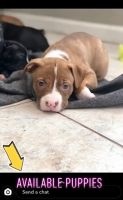 Bull Terrier Puppies for sale in 333 Princess Ave, Woodstock, GA 30189, USA. price: NA