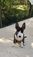 Bull Terrier Puppies for sale in Hernando Beach, FL 34607, USA. price: NA
